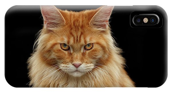 Angry Ginger Maine Coon Cat Gazing On Black Background IPhone Case