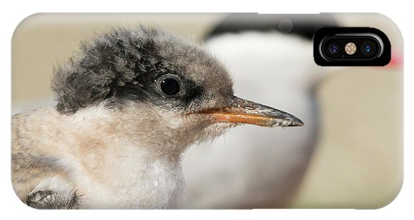 Arctic Tern Chick With Parent - Scotland IPhone Case