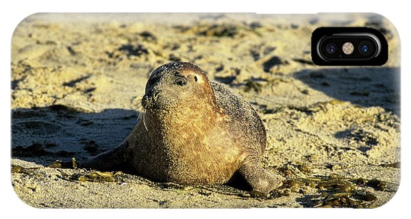Baby Seal In Sand IPhone Case