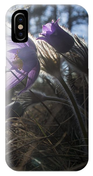 Backlit Pasque Flowers IPhone Case