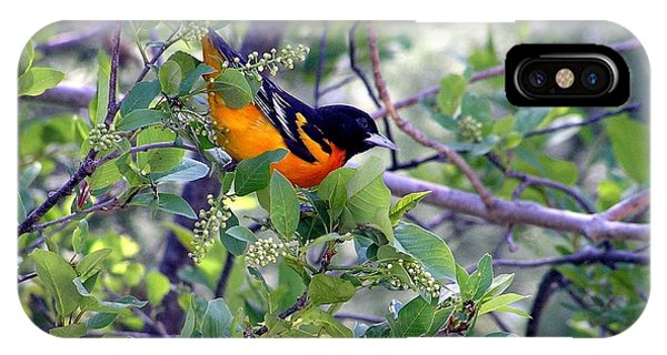 Baltimore Northern Oriole IPhone Case