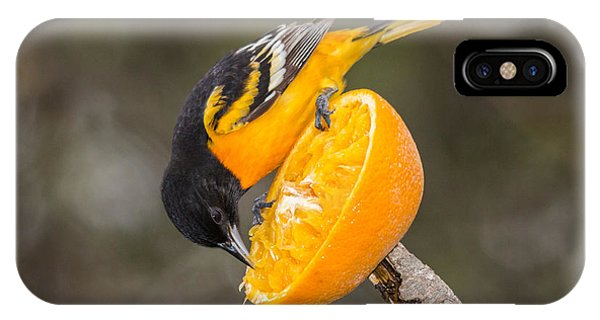 Baltimore Oriole On Orange IPhone Case