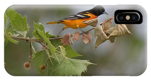 Baltimore Oriole Out On A Limb IPhone Case