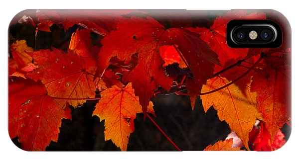 Beautiful Backlit Autumn Maple Leaves Phone Case by Darrell Young