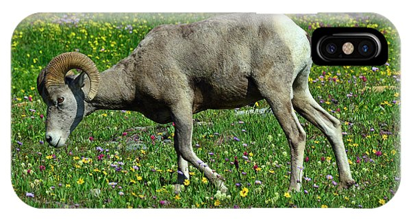 Big Horn Ram Eating Flowers In Glacier National Park IPhone Case