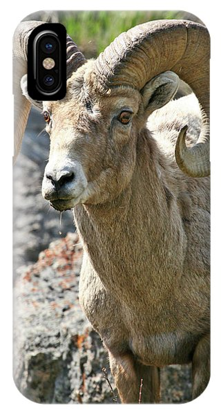 Bighorn Sheep IPhone Case