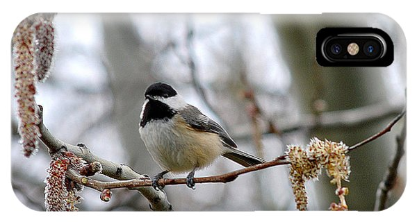 Black-capped Chickadee 20120321_39a IPhone Case