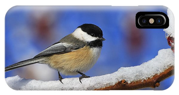 Black-capped Chickadee In Sumac IPhone Case