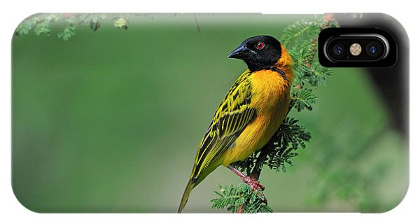 Black-headed Weaver IPhone Case