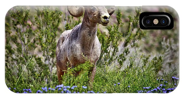 Blooms And Bighorn In Anza Borrego Desert State Park  IPhone Case