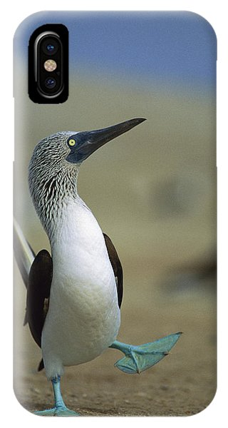 Boobies iPhone Case - Blue-footed Booby Sula Nebouxii by Tui De Roy