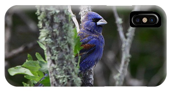 Blue Grosbeak In A Mangrove IPhone Case