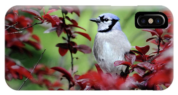 Blue Jay In The Plum Tree IPhone Case