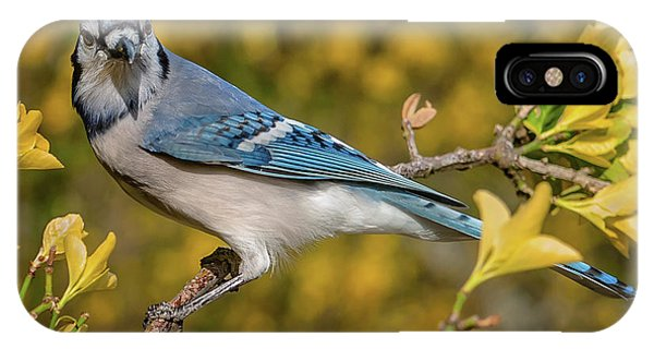 Blue Jay In Yellow Spring IPhone Case