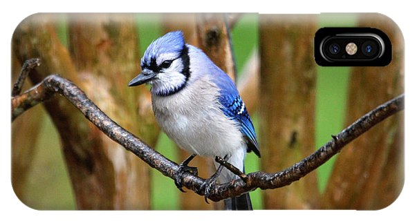 Blue Jay On A Branch IPhone Case