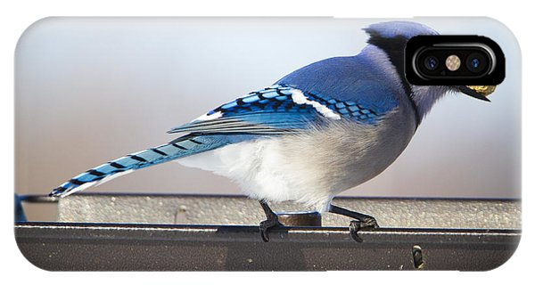 Blue Jay With A Mouth Full IPhone Case