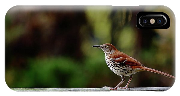 Brown Thrasher Facing East IPhone Case