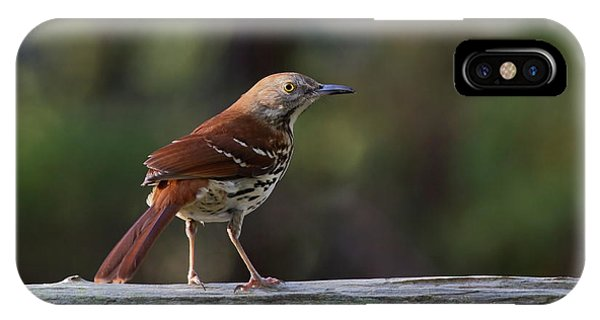 Brown Thrasher Facing West IPhone Case