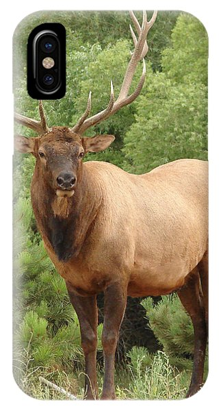 Bull Elk In Evergreen Coloado IPhone Case