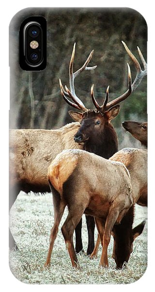 Bull Elk With Cows In The Late Rut IPhone Case