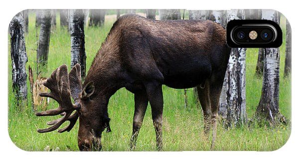 Bull Moose In The Woods  IPhone Case