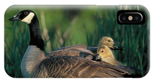 Gosling iPhone Case - Canada Goose With Goslings by Alan and Sandy Carey and Photo Researchers