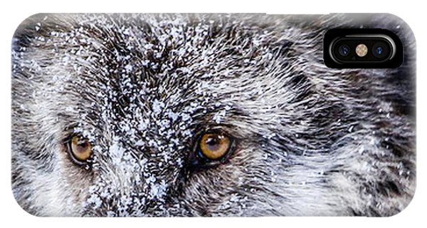 Canadian Grey Wolf In Portrait, British Columbia, Canada IPhone Case
