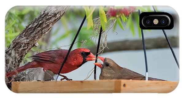 Cardinal Feeding  IPhone Case