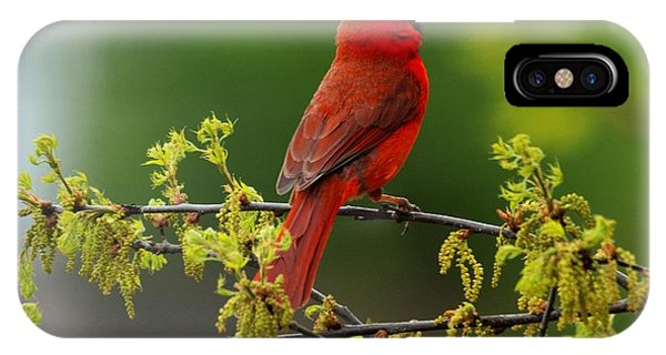 Cardinal In Early Spring IPhone Case