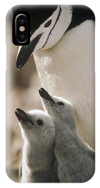 Mp iPhone Case - Chinstrap Penguin Pygoscelis Antarctica by Tui De Roy
