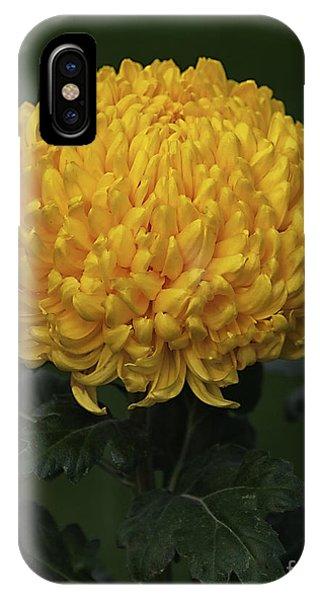 Chrysanthemum 'derek Bircumshaw' IPhone Case