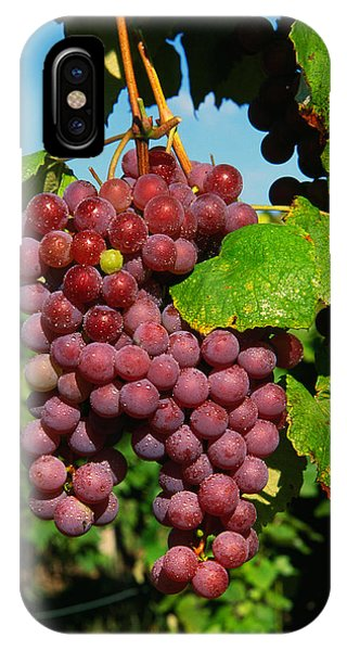Cluster Of Grapes Ripe For Harvesting IPhone Case