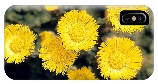 Golden Gardens iPhone Case - Common Coltsfoot  by American School
