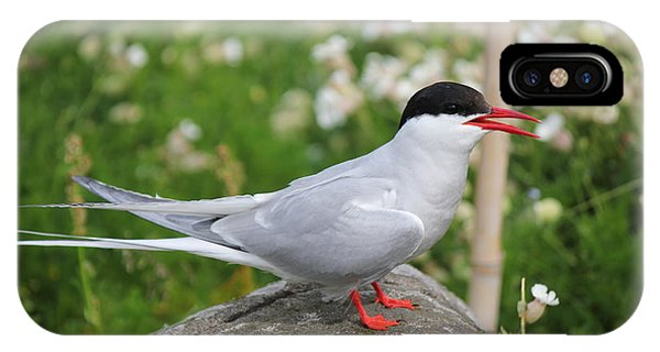 Common Tern IPhone Case