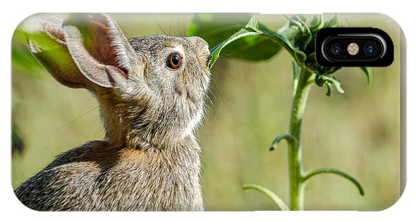 Cottontail Rabbit Eating A Sunflower Leaf IPhone Case