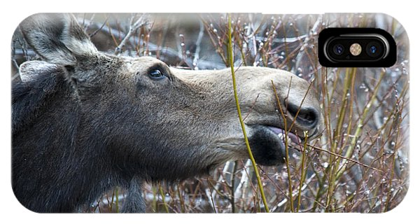 Cow Moose Dining On Willow IPhone Case