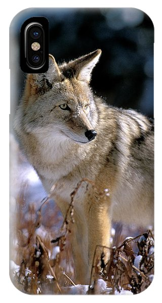 Coyote In Winter Light IPhone Case