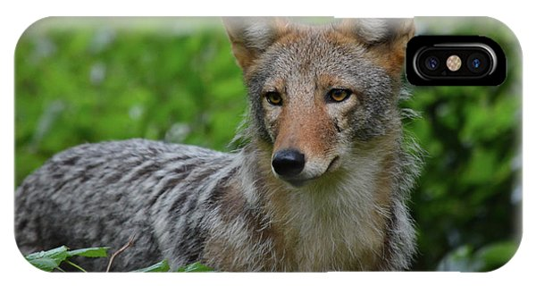 Coyote On The Prowl  IPhone Case