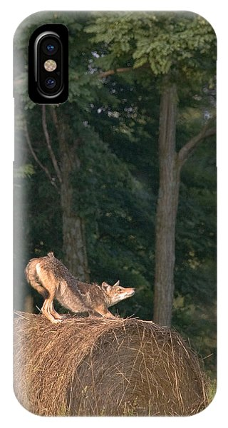 Coyote Stretching On Hay Bale IPhone Case