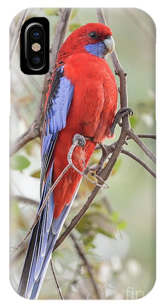 Crimson Rosella 01 IPhone Case