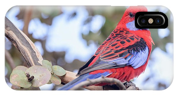 Crimson Rosella 03 IPhone Case