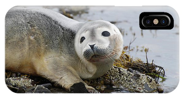 Curious Harbor Seal Pup IPhone Case