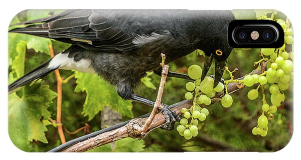 Currawong On A Vine IPhone Case