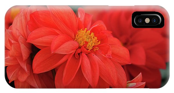Dahlia Bloomer IPhone Case
