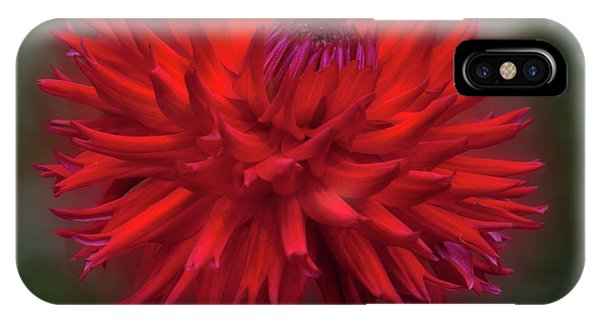 Dahlia 'hollyhill Miss Scarlet' IPhone Case