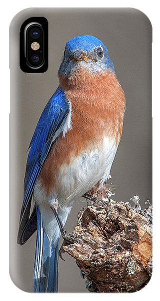 Eastern Bluebird Dsb0300 IPhone Case