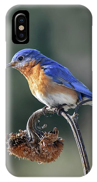 Eastern Bluebird In Spring IPhone Case