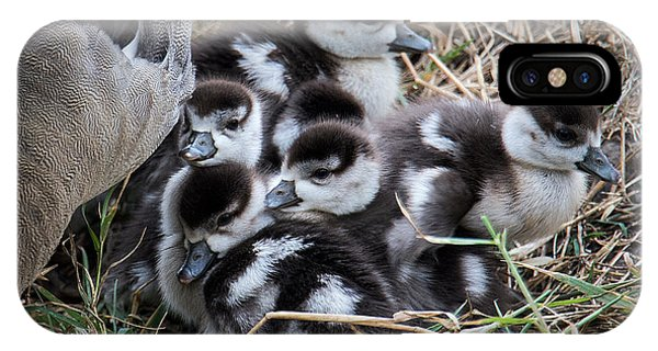 Goslings iPhone Case - Egyptian Goose Alopochen Aegyptiacus by Panoramic Images