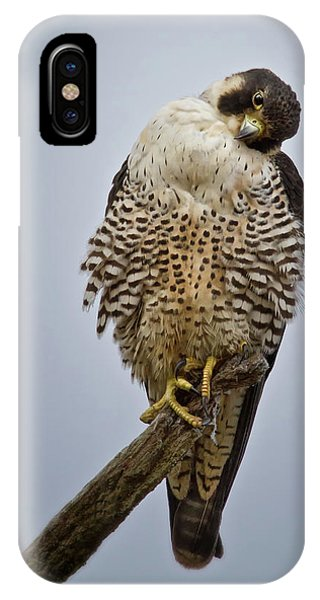 Falcon With Cocked Head IPhone Case