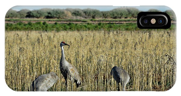 Feeding Greater Sandhill Cranes IPhone Case